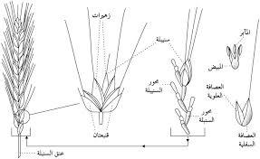 الحنطة
