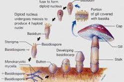 الفطريات