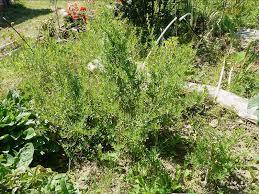 نبات التراجون