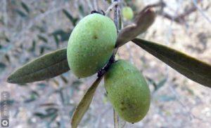 olive-fruit