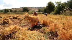 آلة عربية لحصاد العدس
