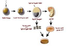 الخلايا الجذرية