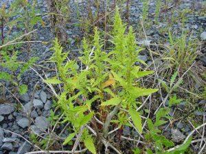 زراعة عشبة الزربيح