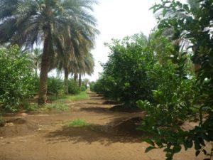 الزراعة البينية