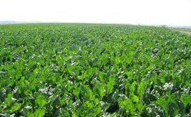 زراعة التوت