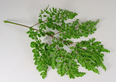 شجرة المورينجا فوائد شجرة المورينجا الهندسة الزراعية